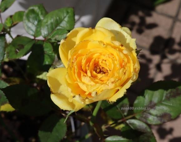 秋バラとアゲハの幼虫_a0304423_23390823.jpg
