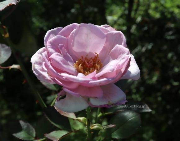 秋バラとアゲハの幼虫_a0304423_23391618.jpg