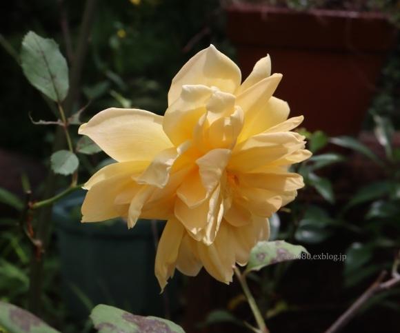秋バラとアゲハの幼虫_a0304423_23393140.jpg