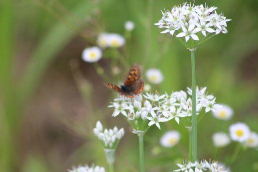 20210905 【蝶】ベニシジミがニラの花で吸蜜_b0013099_10241573.jpg