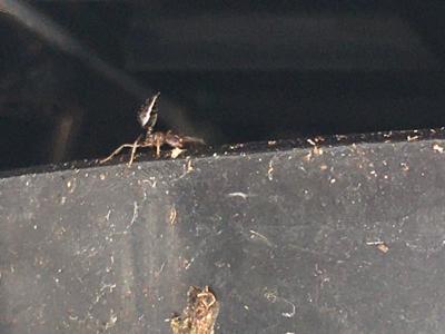 ヒアリに似たアリを発見?_d0214221_07392786.jpg