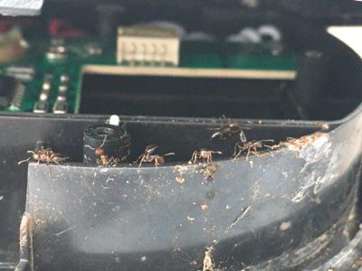 ヒアリに似たアリを発見?_d0214221_07401595.jpg