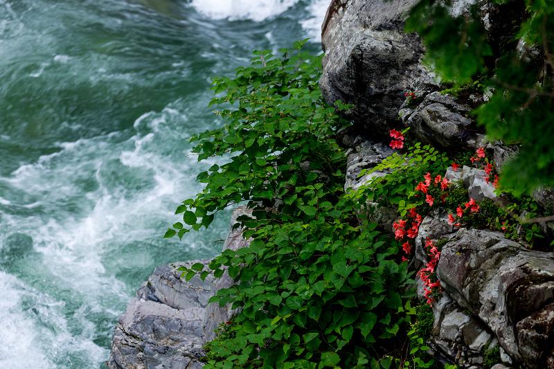 天川村の岩躑躅(川サツキ)_f0155048_23465472.jpg