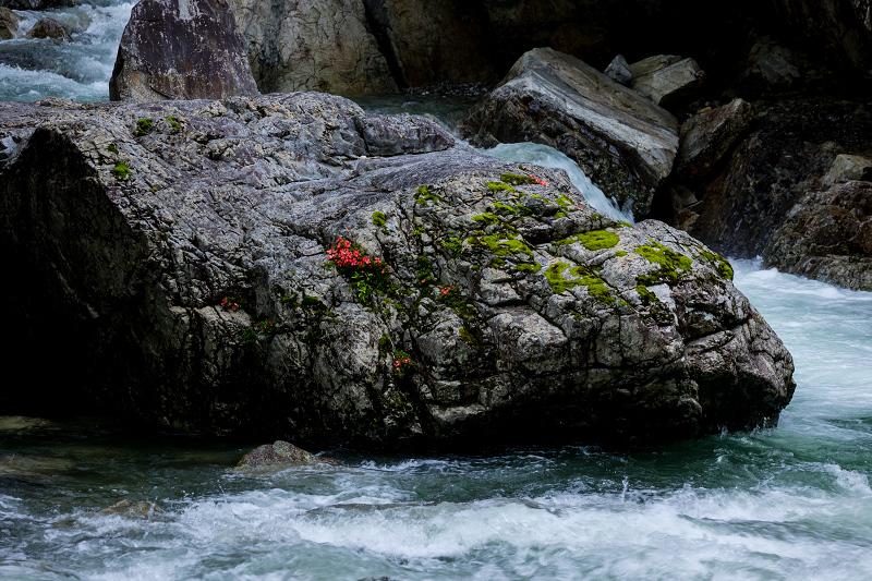天川村の岩躑躅(川サツキ)_f0155048_23472288.jpg