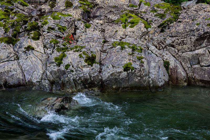 天川村の岩躑躅(川サツキ)_f0155048_23473219.jpg