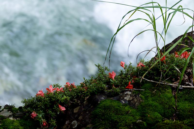 天川村の岩躑躅(川サツキ)_f0155048_23474561.jpg