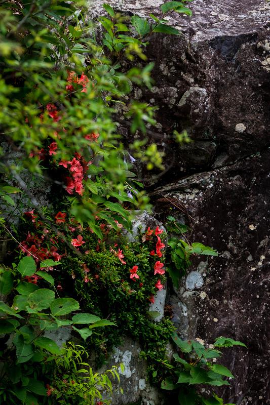 天川村の岩躑躅(川サツキ)_f0155048_23480849.jpg