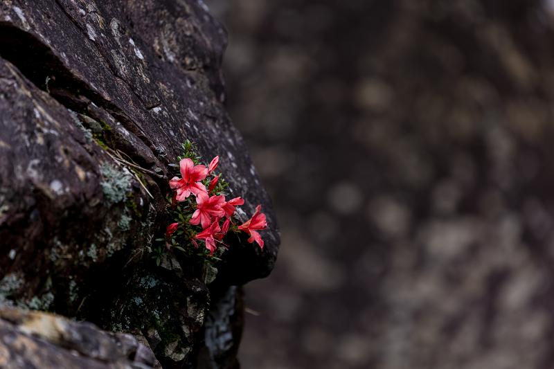 天川村の岩躑躅(川サツキ)_f0155048_23483290.jpg