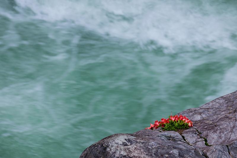 天川村の岩躑躅(川サツキ)_f0155048_23483835.jpg