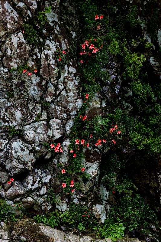 天川村の岩躑躅(川サツキ)_f0155048_23484352.jpg