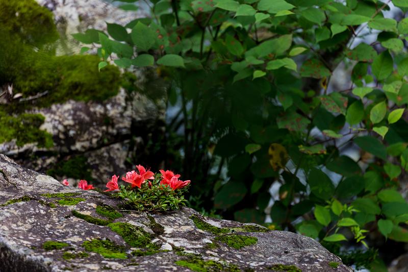 天川村の岩躑躅(川サツキ)_f0155048_23491592.jpg