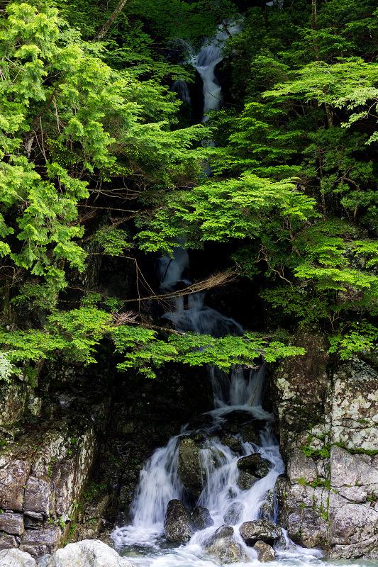 天川村の岩躑躅(川サツキ)_f0155048_23493560.jpg