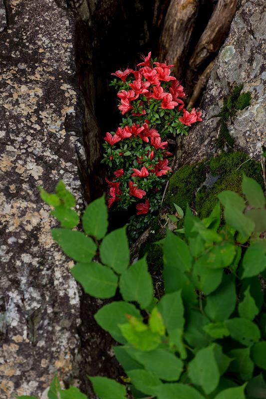 天川村の岩躑躅(川サツキ)_f0155048_23500722.jpg