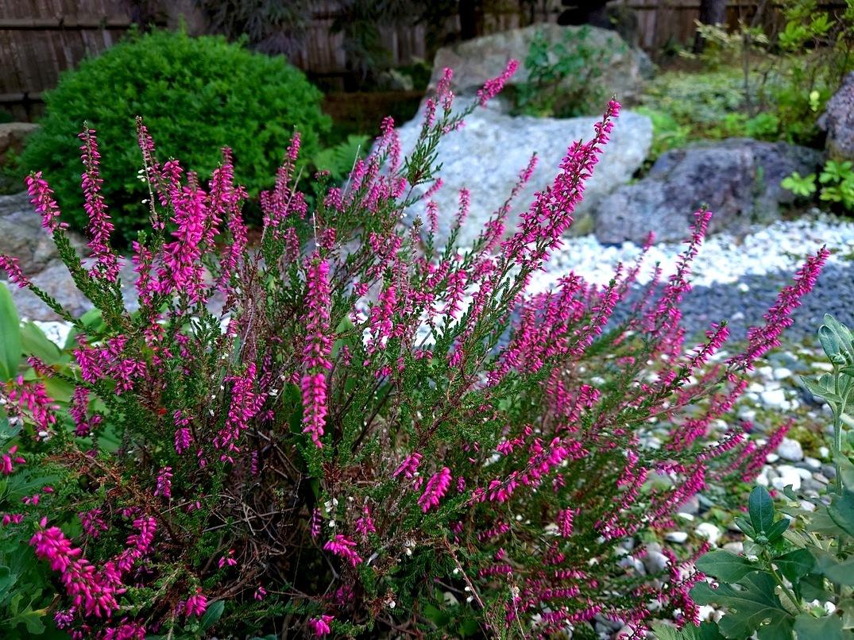 806、白露、秋の庭に花ふたたび_e0323652_15550012.jpg