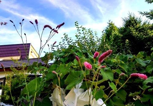 806、白露、秋の庭に花ふたたび_e0323652_15550393.jpg