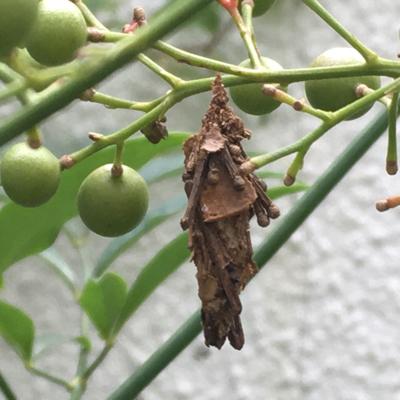ヒアリに似たアリを発見?_d0214221_04162022.jpg