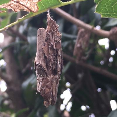 ヒアリに似たアリを発見?_d0214221_04193518.jpg