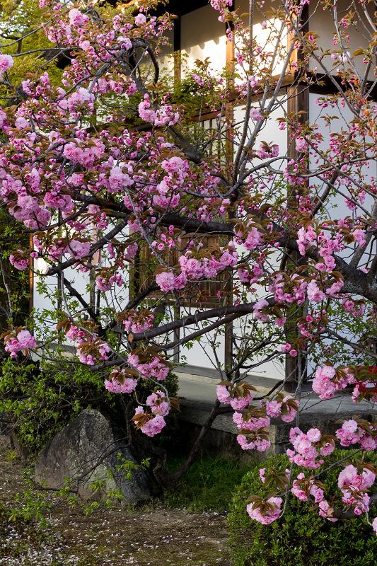 2021桜咲く京都 晩春・本満寺_f0155048_22572223.jpg