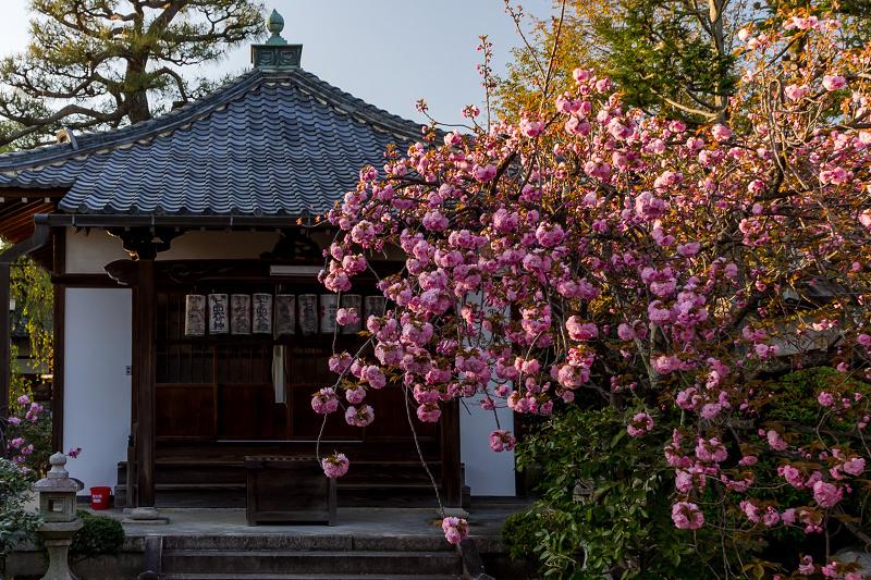 2021桜咲く京都 晩春・本満寺_f0155048_22585246.jpg