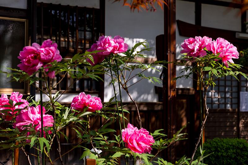 2021桜咲く京都 晩春・本満寺_f0155048_23002548.jpg