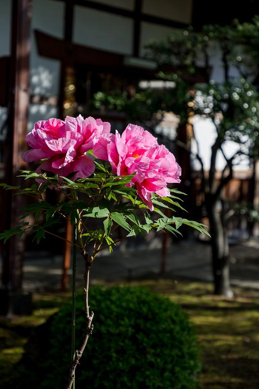 2021桜咲く京都 晩春・本満寺_f0155048_23003325.jpg