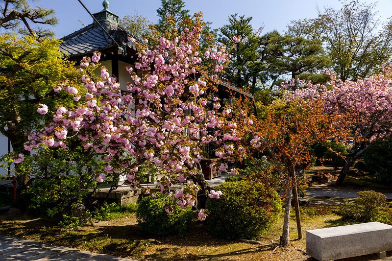 2021桜咲く京都 晩春・本満寺_f0155048_23004663.jpg