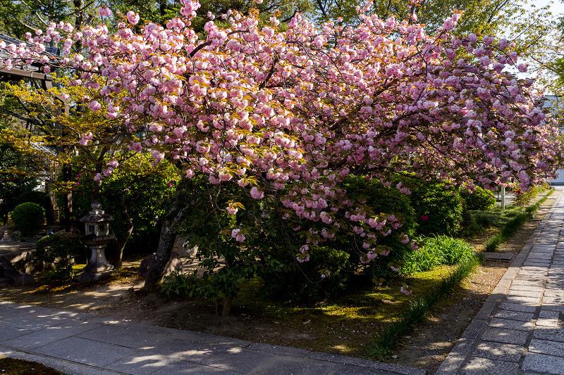 2021桜咲く京都 晩春・本満寺_f0155048_23011204.jpg