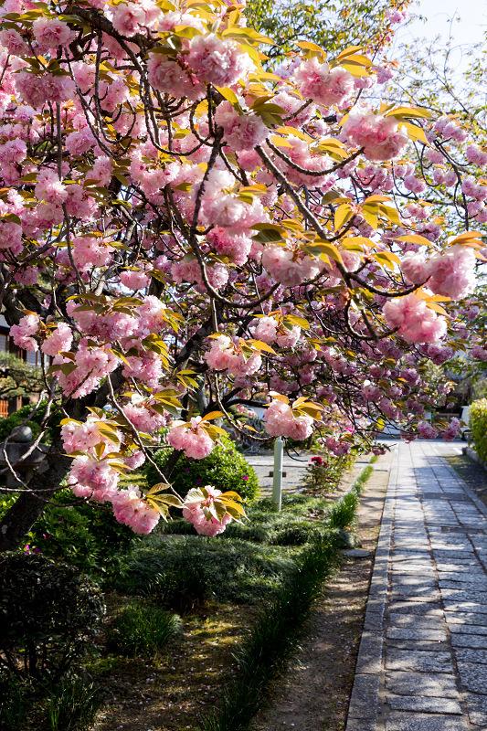 2021桜咲く京都 晩春・本満寺_f0155048_23011724.jpg