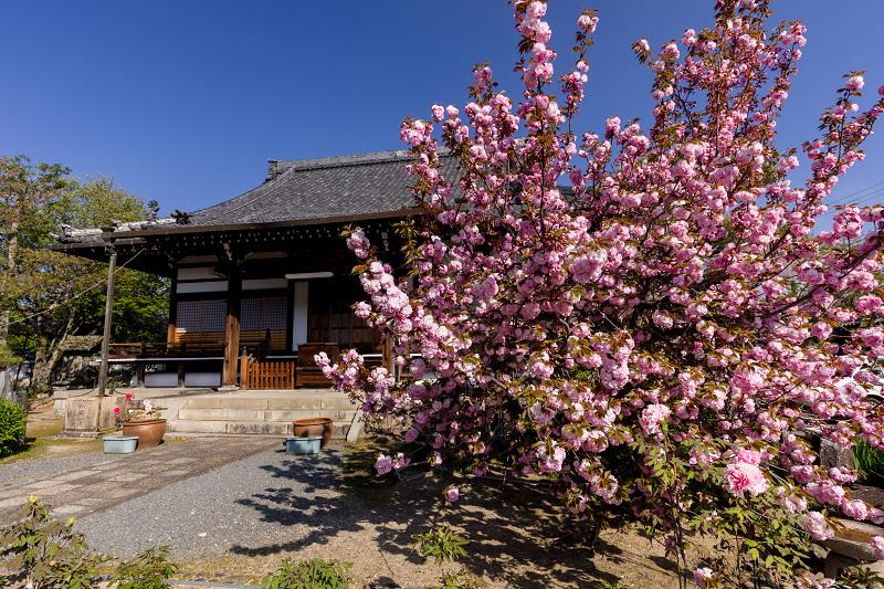 2021桜咲く京都 晩春・本満寺_f0155048_23012691.jpg