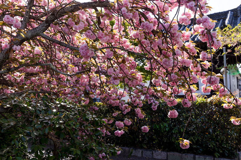 2021桜咲く京都 晩春・本満寺_f0155048_23020411.jpg