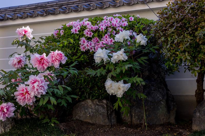 2021桜咲く京都 晩春・本満寺_f0155048_23021455.jpg