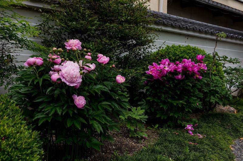 2021桜咲く京都 晩春・本満寺_f0155048_23032448.jpg