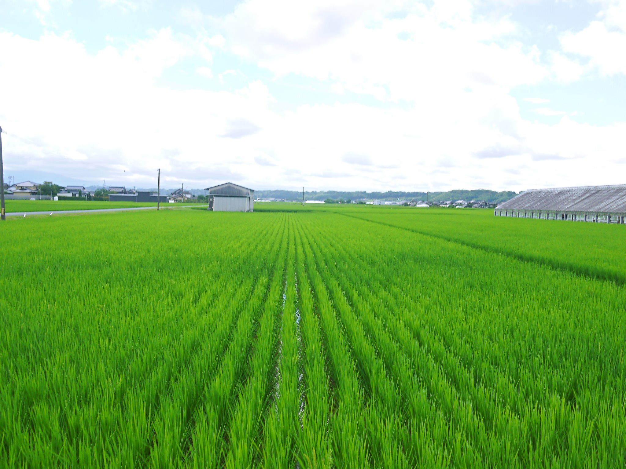 無農薬栽培の『雑穀米』『発芽玄米』大好評販売中!命みなぎる美味しいお米に元気な花が咲きました(2021)_a0254656_17281931.jpg