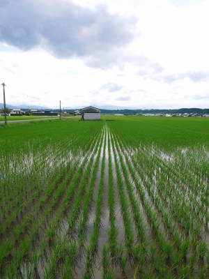 無農薬栽培の『雑穀米』『発芽玄米』大好評販売中!命みなぎる美味しいお米に元気な花が咲きました(2021)_a0254656_17334204.jpg