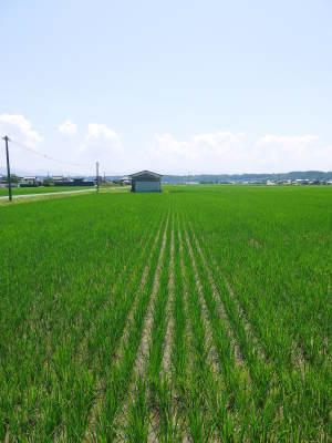 無農薬栽培の『雑穀米』『発芽玄米』大好評販売中!命みなぎる美味しいお米に元気な花が咲きました(2021)_a0254656_17372797.jpg