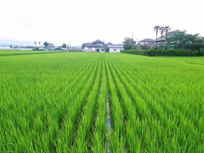 無農薬栽培の『雑穀米』『発芽玄米』大好評販売中!命みなぎる美味しいお米に元気な花が咲きました(2021)_a0254656_17555618.jpg