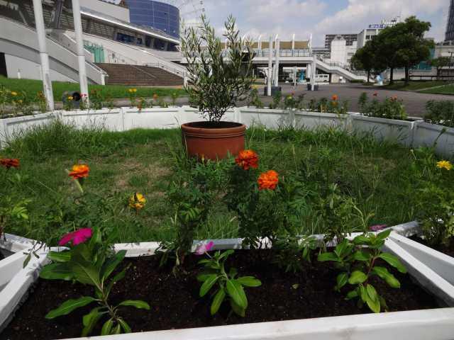 名古屋港水族館前のプランター花壇の植栽R3.9.7_d0338682_11023587.jpg