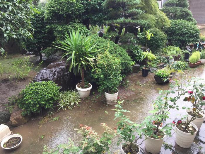 朝から強い雨で庭に水溜りバラは雨に押されています。_f0122241_08510842.jpg