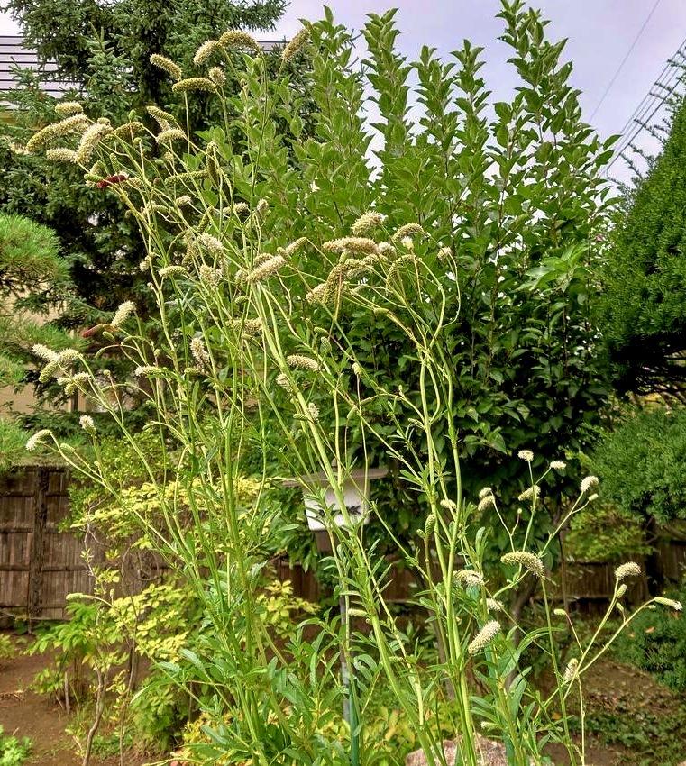 806、白露、秋の庭に花ふたたび_e0323652_15323222.jpg