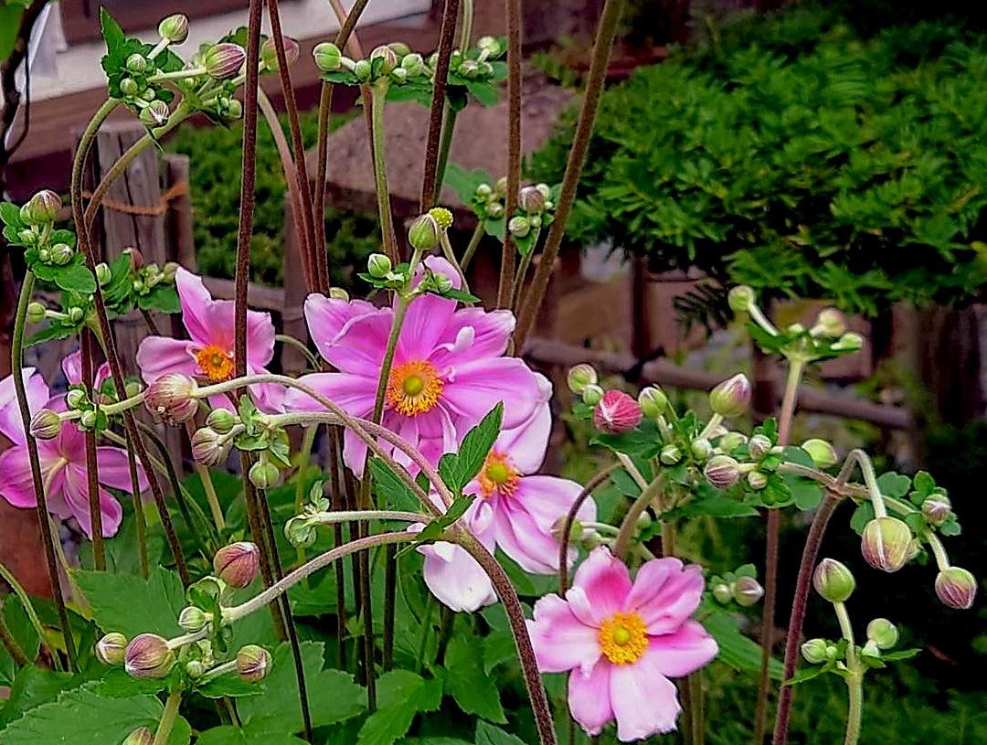 806、白露、秋の庭に花ふたたび_e0323652_15333747.jpg
