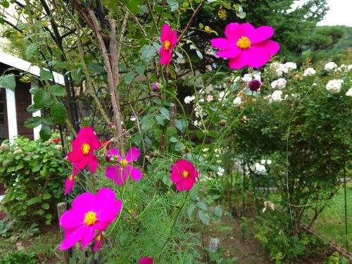 806、白露、秋の庭に花ふたたび_e0323652_15411500.jpg