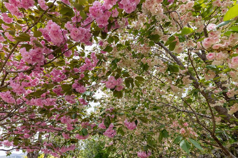 Finale! 2021桜咲く京都 圓光寺の八重桜たちと新緑_f0155048_23522737.jpg