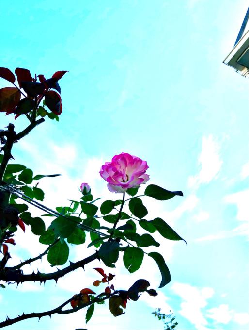 フライングのバラ♡とピンクアナベルの2番花✨ - 薪割りマコのバラの庭