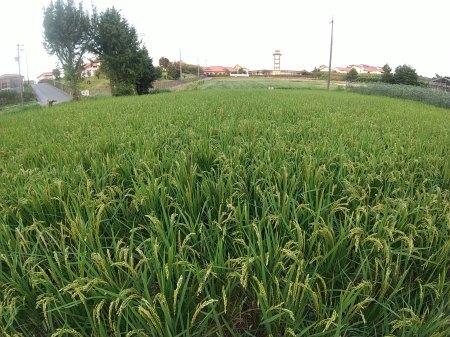米づくり体験「稲刈り」_d0120421_16262376.jpg