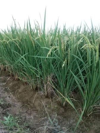 米づくり体験「稲刈り」_d0120421_16262875.jpg