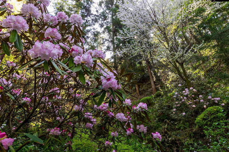 石楠花と春の花咲く岡寺_f0155048_23025287.jpg