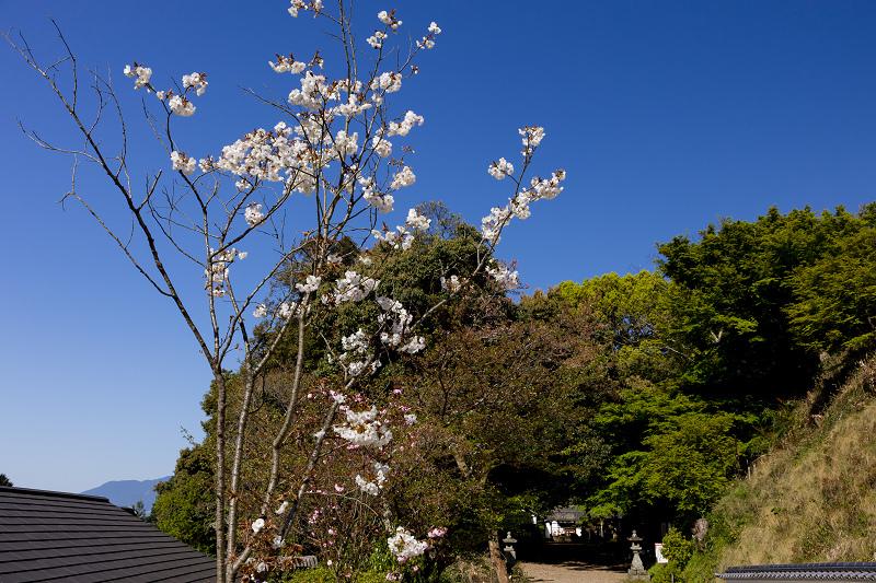 石楠花と春の花咲く岡寺_f0155048_23031267.jpg