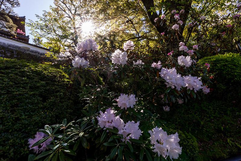 石楠花と春の花咲く岡寺_f0155048_23033620.jpg