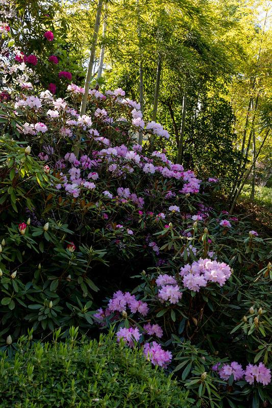 石楠花と春の花咲く岡寺_f0155048_23033983.jpg