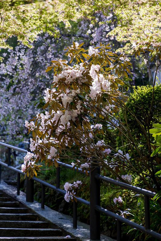 石楠花と春の花咲く岡寺_f0155048_23035097.jpg